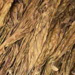 Dried tobacco leaves. Golden leaf background. Raw tobacco leaf under sun. Cigarette ingredient or raw material. Tobacco leaf pile. Bunch of raw tobacco leaves. Natural smoking plant leaf mound photo