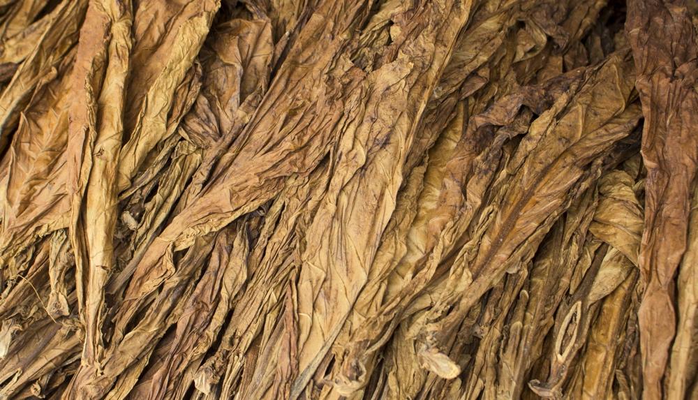 Tobacco leaves drying - smoking and smoke concept image